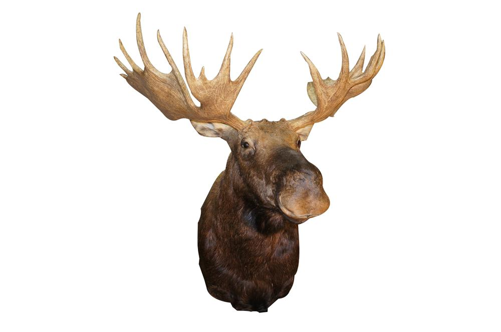 Large Moose Head stuffed mount.  Magnificent and one of the largest mounts weve ever seen. - Front 3/4 - 154596