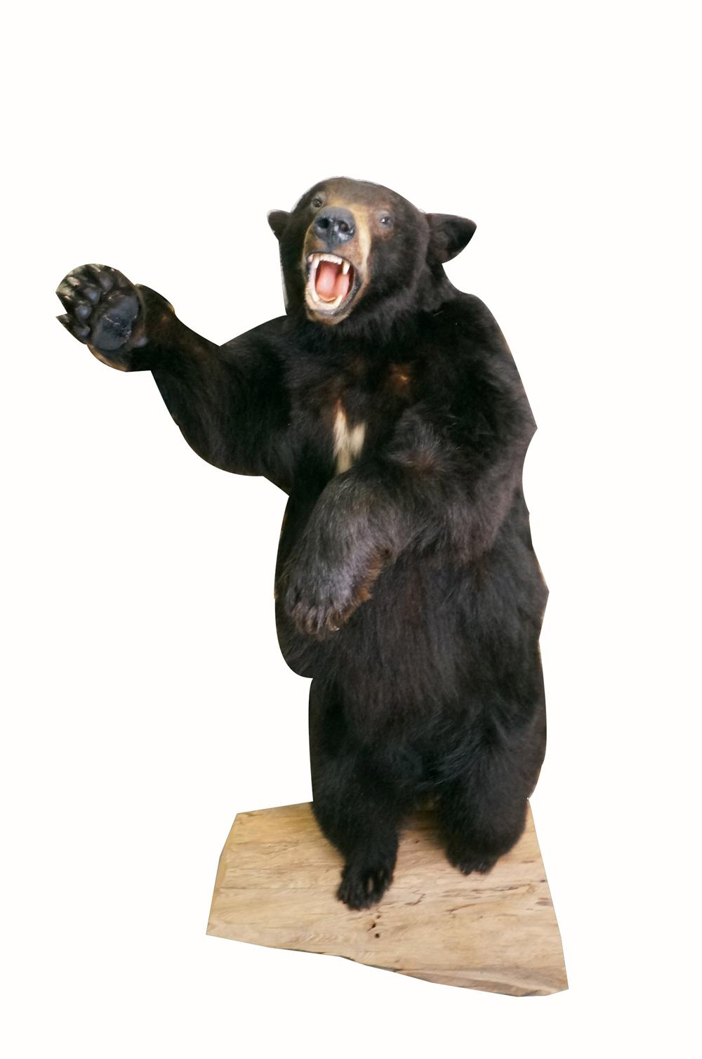 Magnificent mounted standing Black Bear in roaring position. - Front 3/4 - 162553