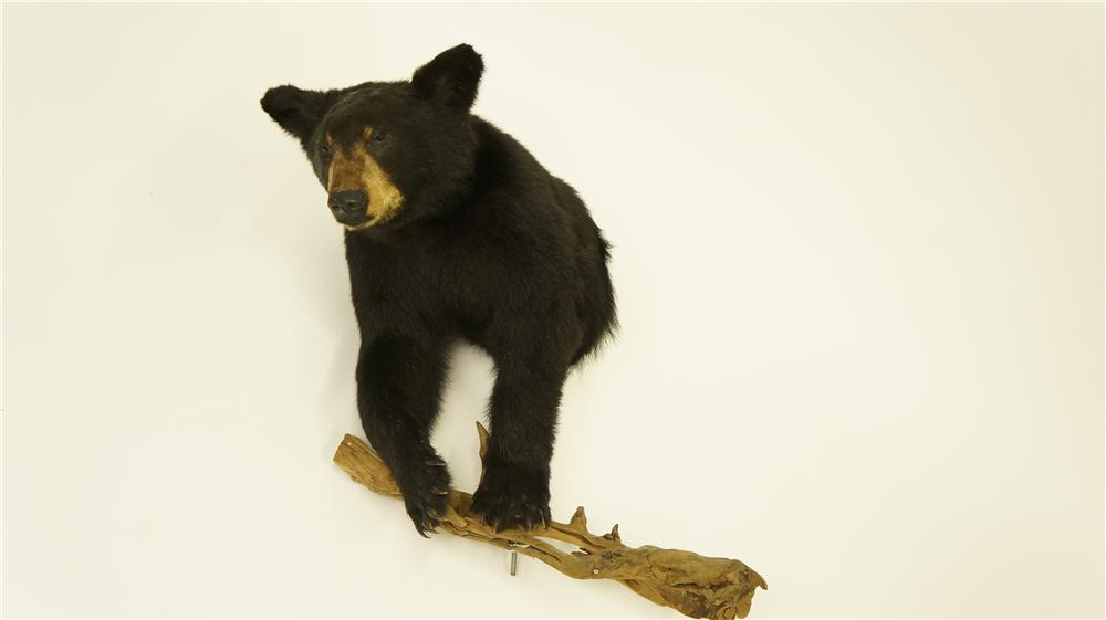 Nifty Black Bear torso stuffed mount on wood. - Front 3/4 - 174958