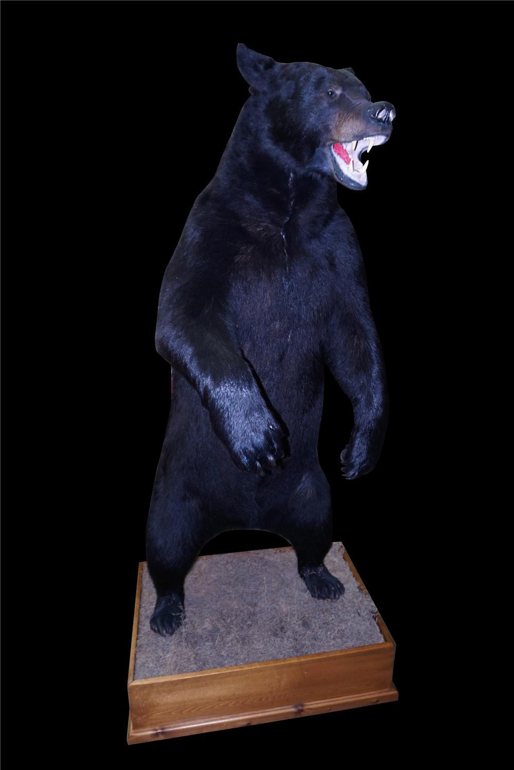 Majestic large professionally mounted standing Black Bear. - Front 3/4 - 190900
